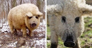 This Adorable Pig Looks Like A Sheep And Is As Tame As A Dog