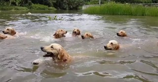 The Key To Happiness Is Precisely 16 Swimming Golden Retrievers