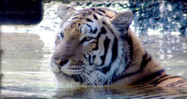 The tigers each weigh more than 200 pounds but are much smaller than the zoo's current resident Siberian tiger, Tigger.