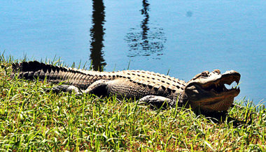 The Mississippi Supreme Court has ruled Exxon is not responsible for alligators at its waste site in Wilkinson County. File Photo/Gulflive.com