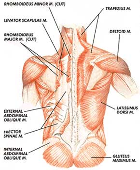 The Muscles of the back are very closely intertwined easily detailing the complexity of LBP
