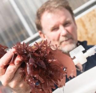 dulse-seaweed-langdon