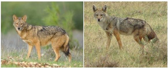 african-golden-jackal-gray-wolf