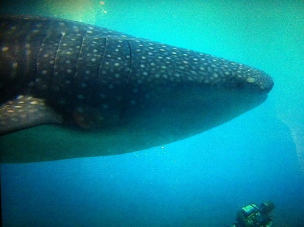 Maldives - Whale Shark