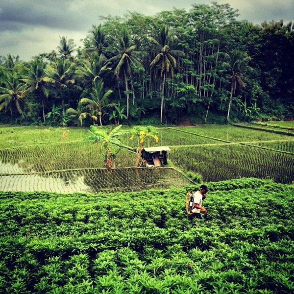 Bali Ubud Paddy Field