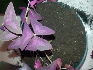 The Oxalis now has new soil filling all the spaces, and is ready to water.
