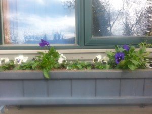 After being hardened off, these pansies are enjoying their new home in early spring.