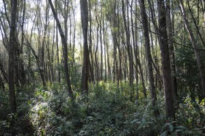 A mature poplar forest with healthy understory. Image courtesy of Creative Commons.