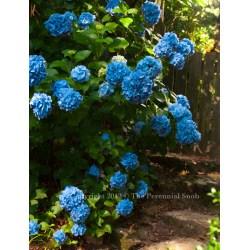 Small Crop Of Nikko Blue Hydrangea