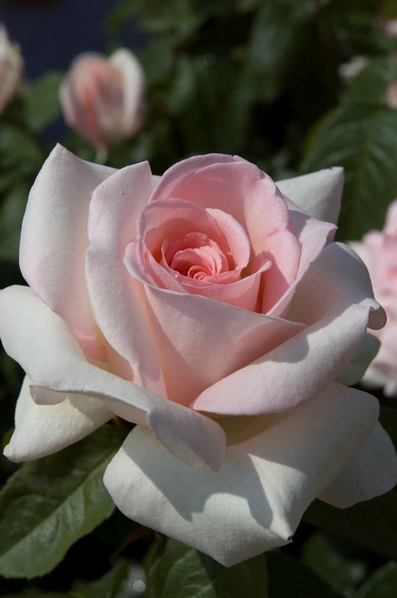 Large Of Fragrant Cloud Rose