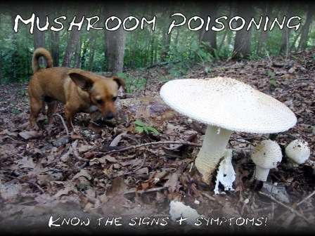 dogs and poisonous mushrooms