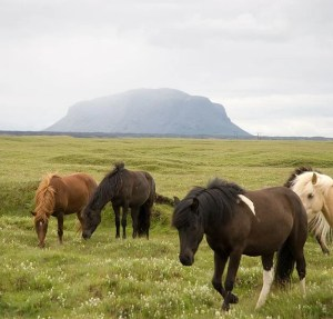 "Icelandic horses are famous for their sturdy nature and unique ""flying pace."""