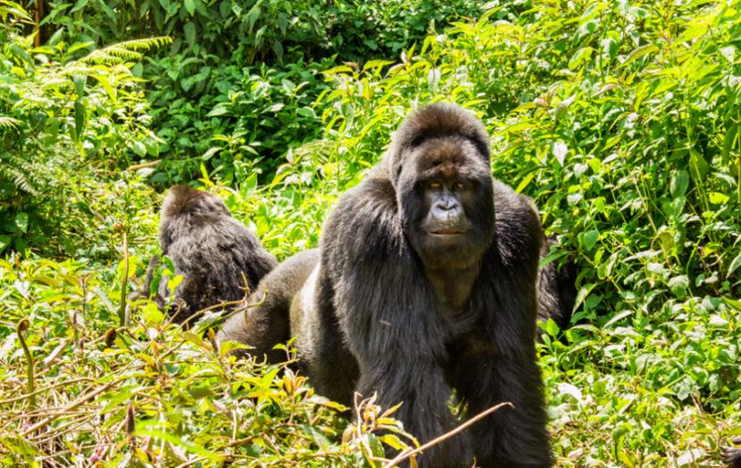 Head to Rwanda to track its famous (and rare) mountain gorillas. Photo credit: Volcanoes Safaris.
