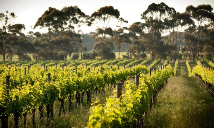 Vineyards at Cape Mentelle. Photo courtesy of Cape Mentelle.