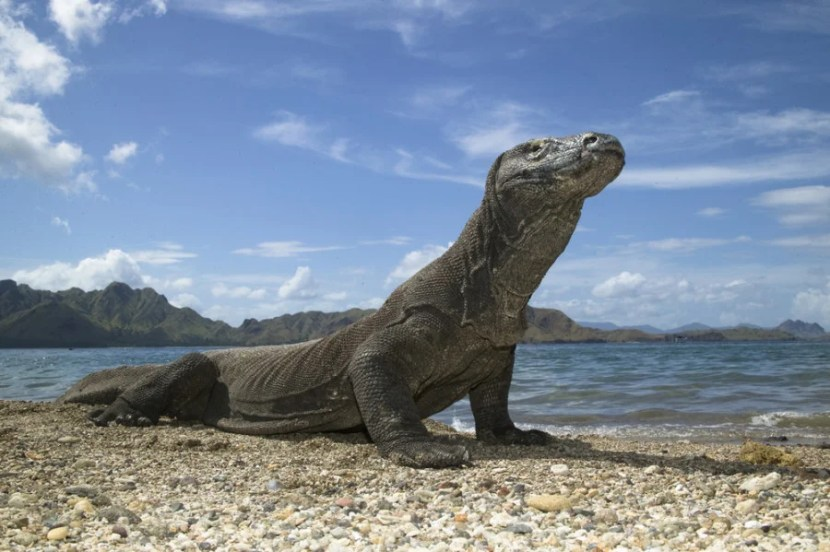Visit the famous dragons on Indonesia's Komodo and Rinca Islands. Photo courtesy of Shutterstock.