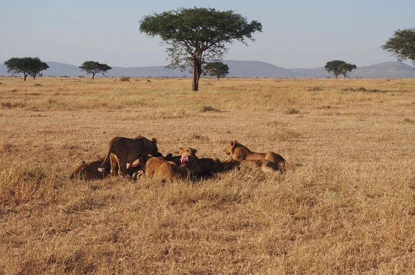 The whole point of going on safari is for the game dive — like seeing a pack of lions rip into a fresh kill.