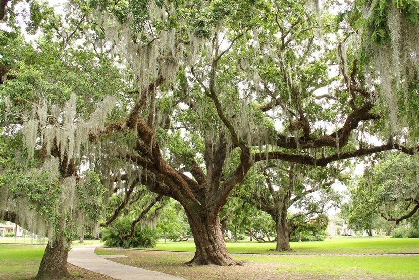 """Old Grove in City Park is home to live oak trees that are more than 800 years old. Image courtesy of<a href=""""http://www.shutterstock.com/pic-157796681/stock-photo-city-park-trees-in-new-orleans.html?src=fVxIXees-HHkiCRuV_YZhQ-1-0"""" target=""""_blank"""">Shutterstock</a>."""