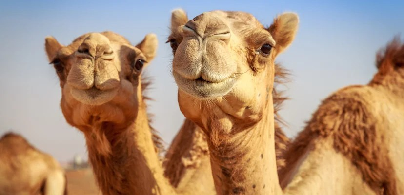 Tucson: Come for the views, stay for the camels. Image courtesy of Shutterstock.