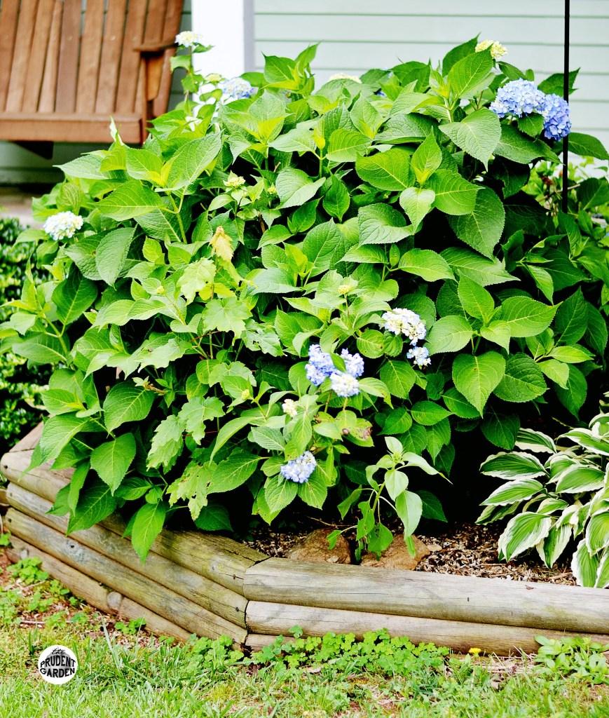 Start Hydrangeas from Cuttings