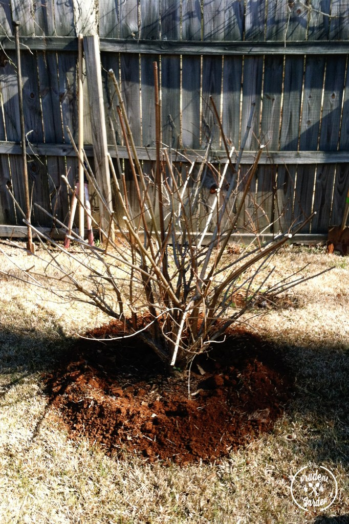How to Transplant a Shrub