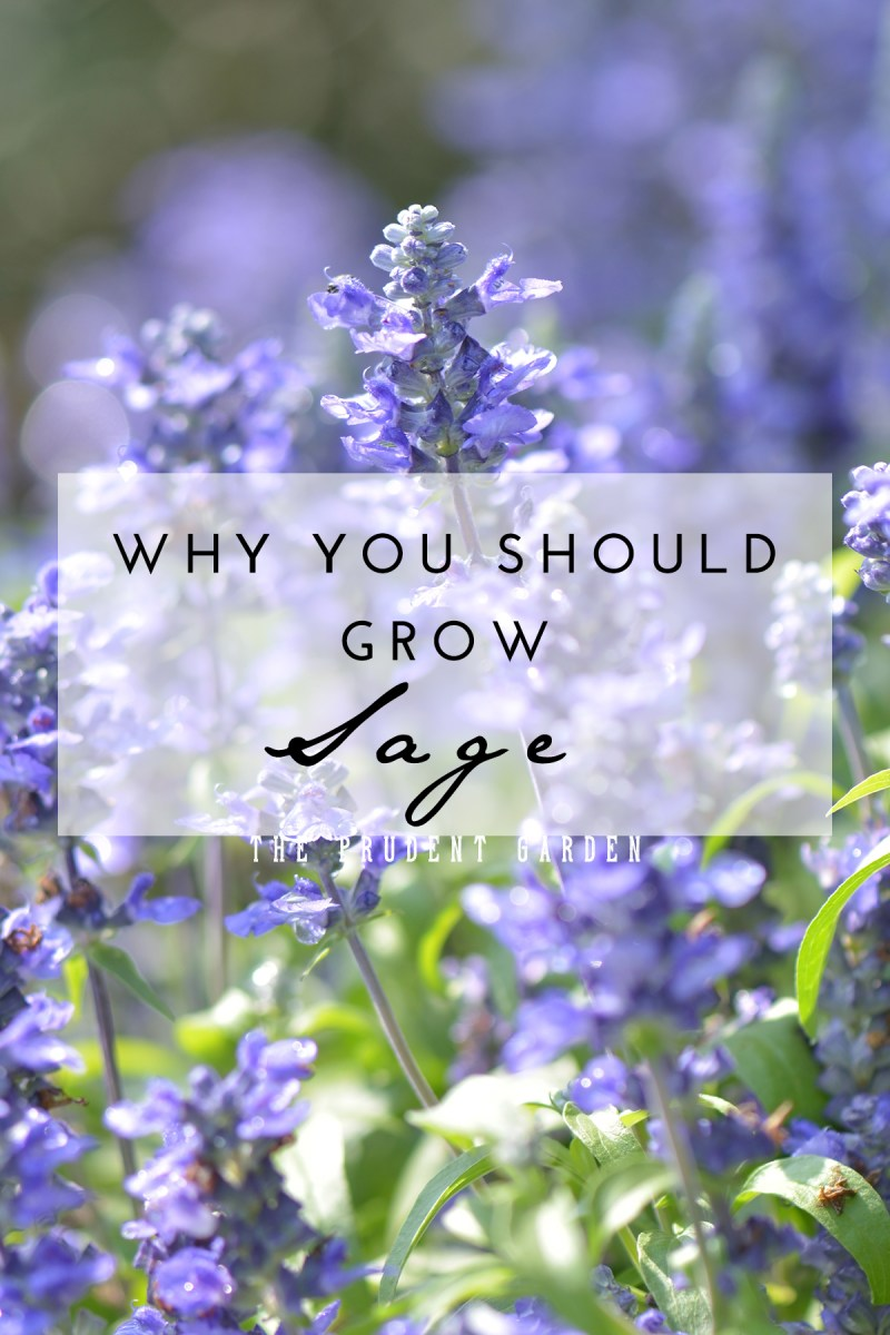 Why You Should Grow Sage