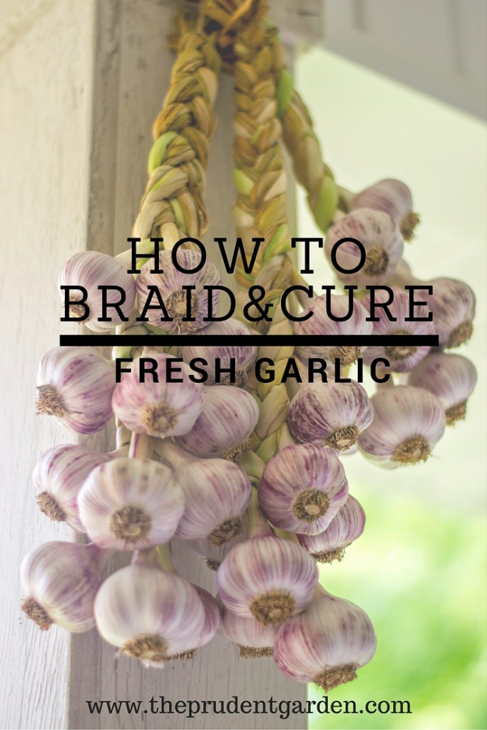 How To Braid And Cure Fresh Garlic The Prudent Garden