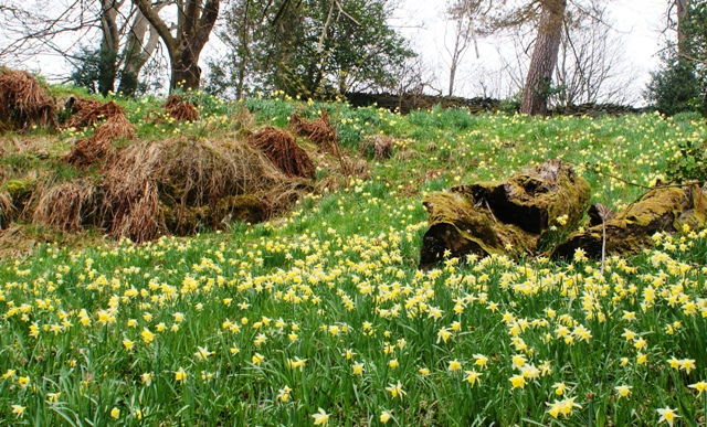 Dora's Field daffodils - photo by Zoe Dawes