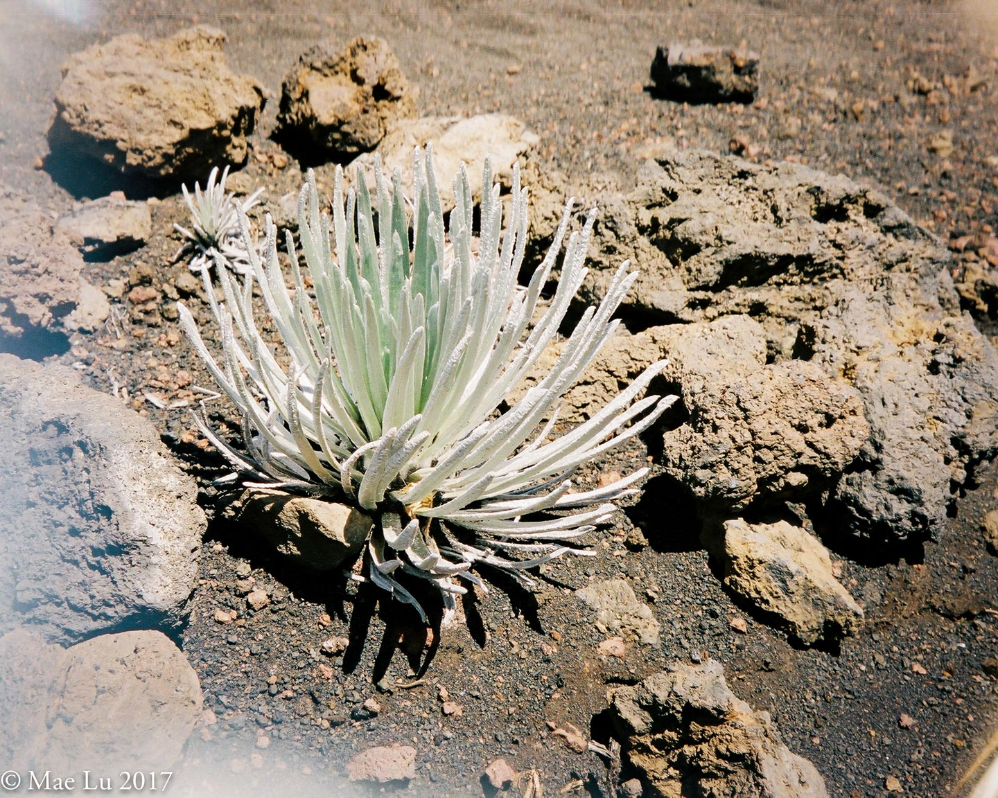 thereafterish feature photo Haleakala silversword succulent bush amongst volcanic rock