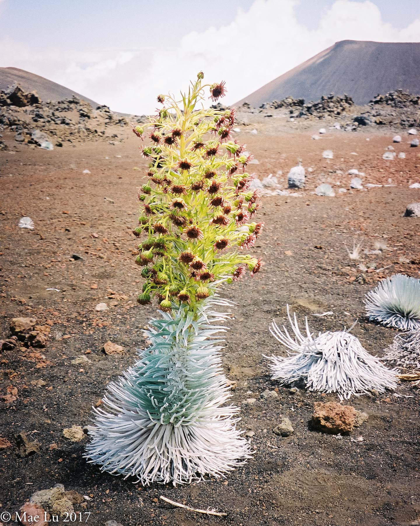 thereafterish feature photo Haleakala silversword succulent bush amongst volcanic rock with flowering stalk