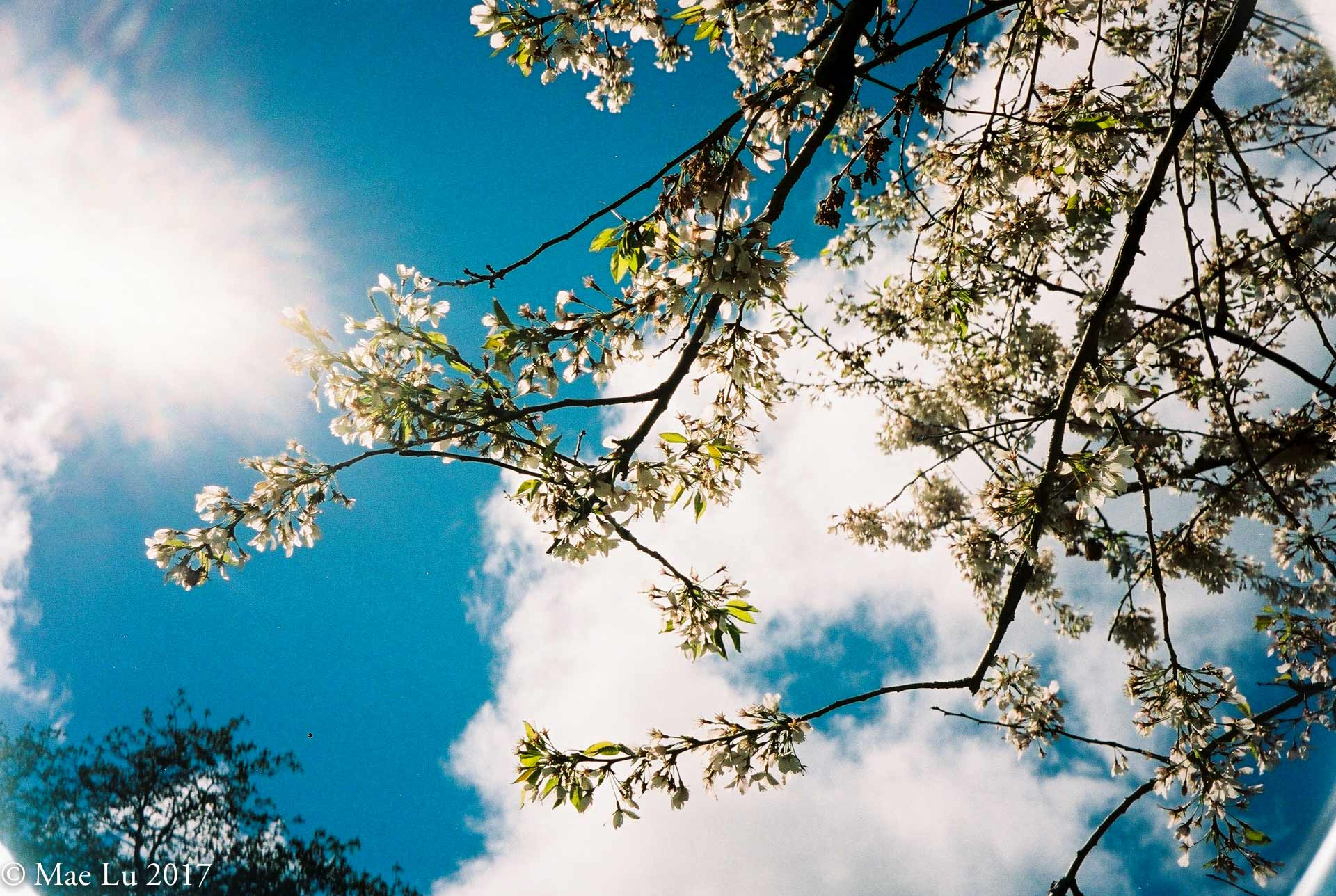 thereafterish film is not dead cherry blossoms with sun reflection