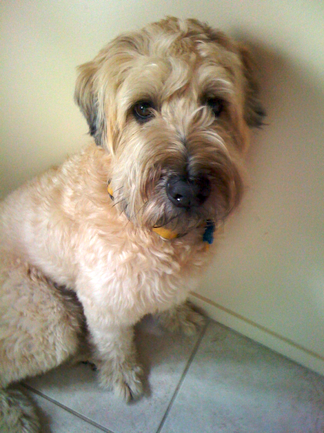 thereafterish, Wheaten Terrier, Life in Hawaii, Day in the Life, Living in Hawaii, Max The Bear