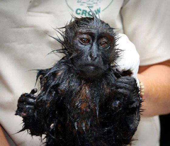 Monkey Covered in oil.