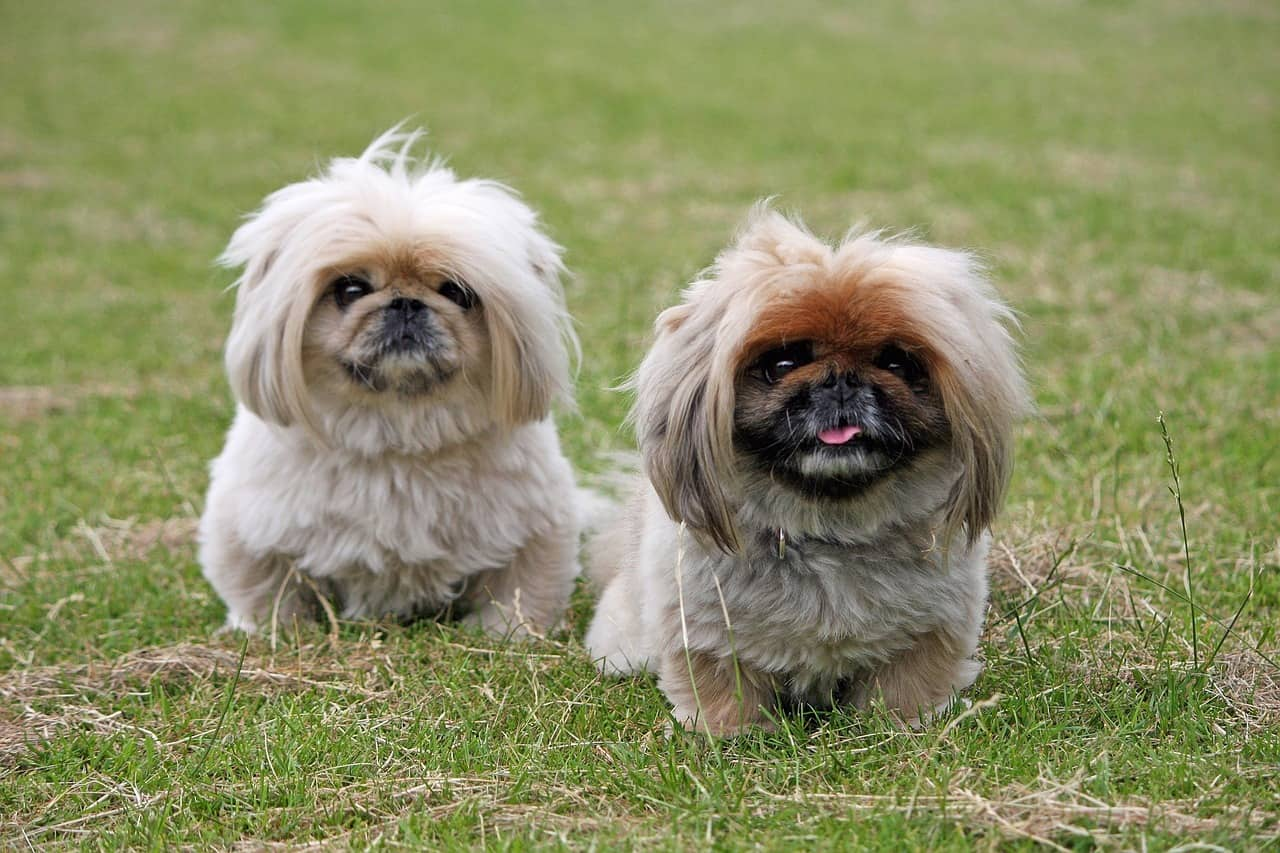 Sunshiny Seniors Lap Dogs Ever Most Chinese Dog Breeds From Middle Kingdom Lap Dogs bark post Best Lap Dogs