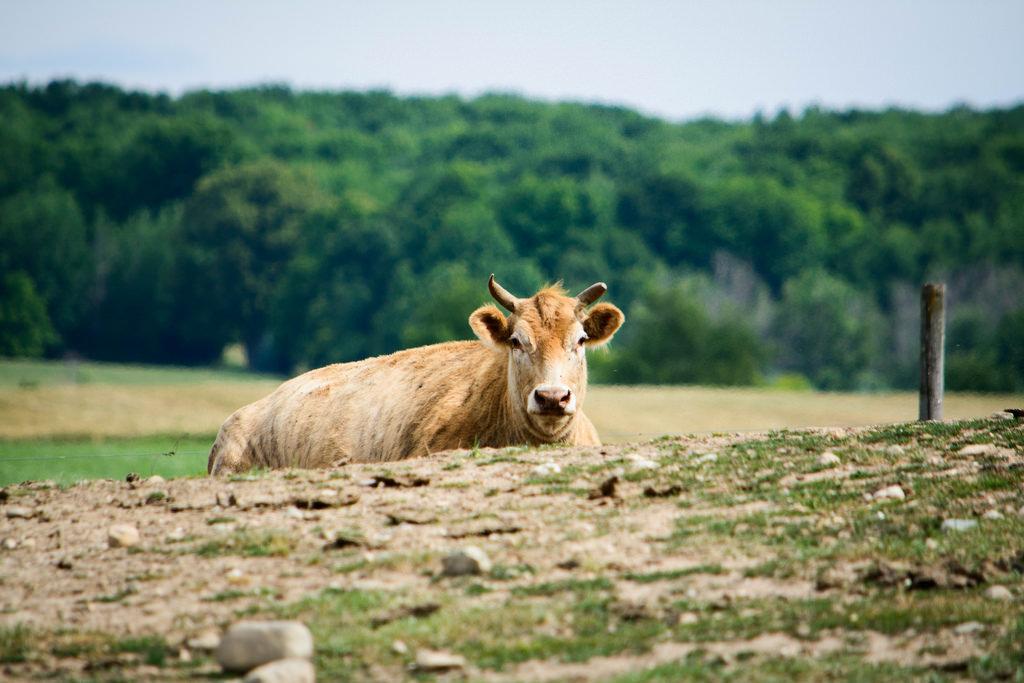 cow-layin-down-