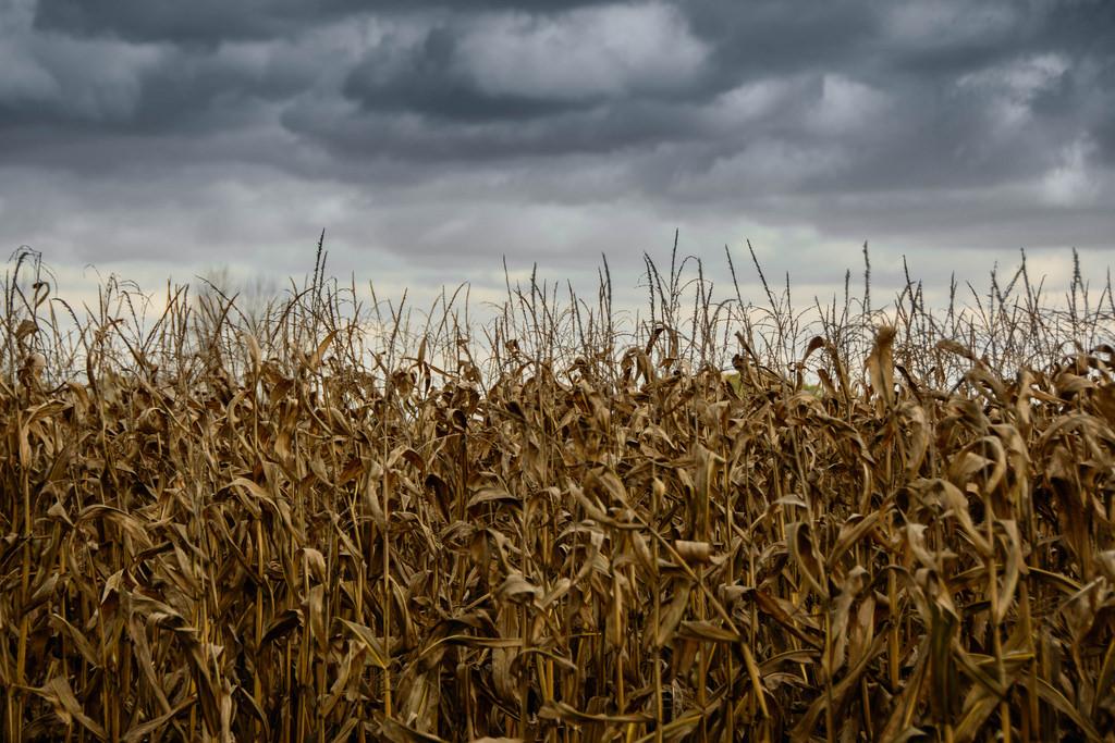 corn-clouds-sky