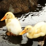 Ducklings on the Stream