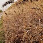 November On the Go: Fall reeds