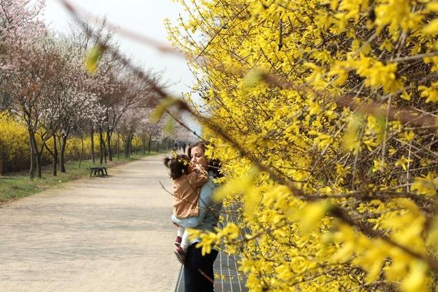 Seoul World Cup Park, Korea yellow flowers