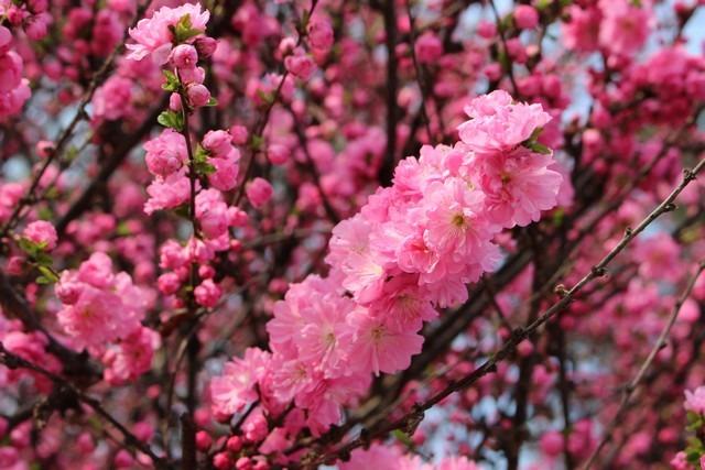 Pyeonghwa Park, Mapo-gu, Seoul, Korea, spring flowers