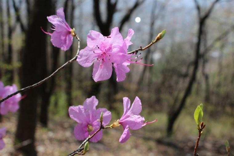 Ansan Mountain, Seodaemun-gu, Seoul, Korea, pink flowers