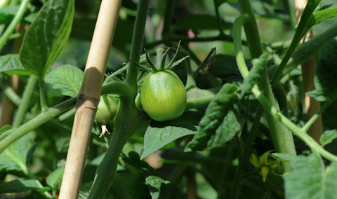 Tomatoes_SM-0889