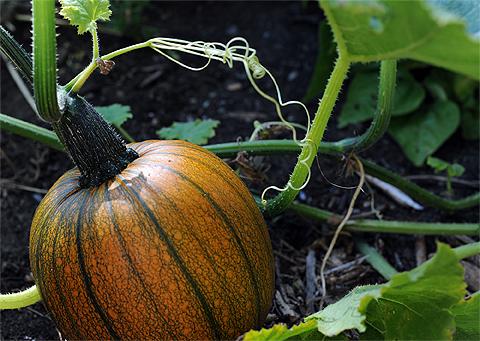 Pumpkin480