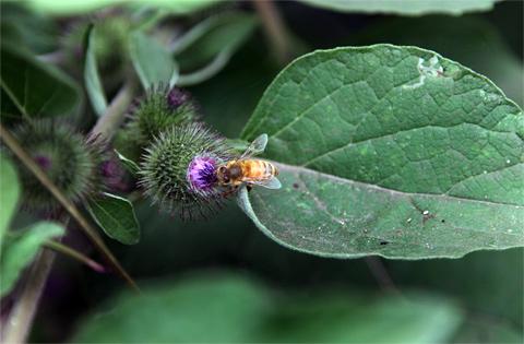 480-thistlebee
