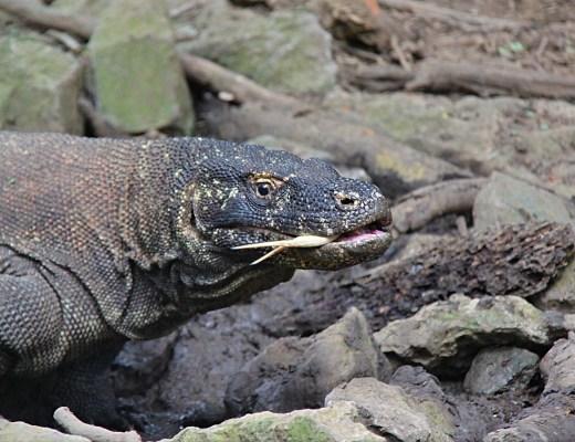 komodo-dragon-up-close-and-personal-on-komodo-island-the-traveloguer-travel-blog