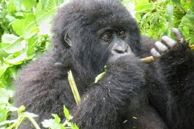 africa gorilla trekking rwanda