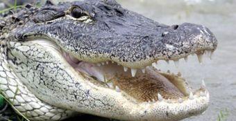 alligator_ap