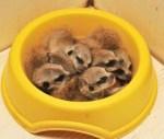 Top 10 Animals Asleep in Their Food Bowls