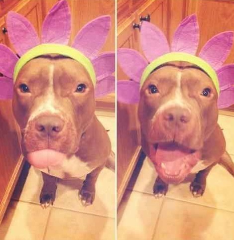 Pitbull With Flower Hat on