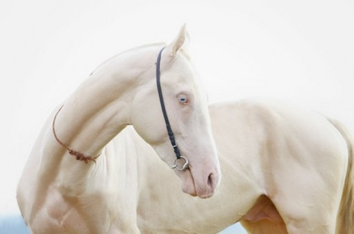 Rare Albino Horses The Top 10 of Anything...