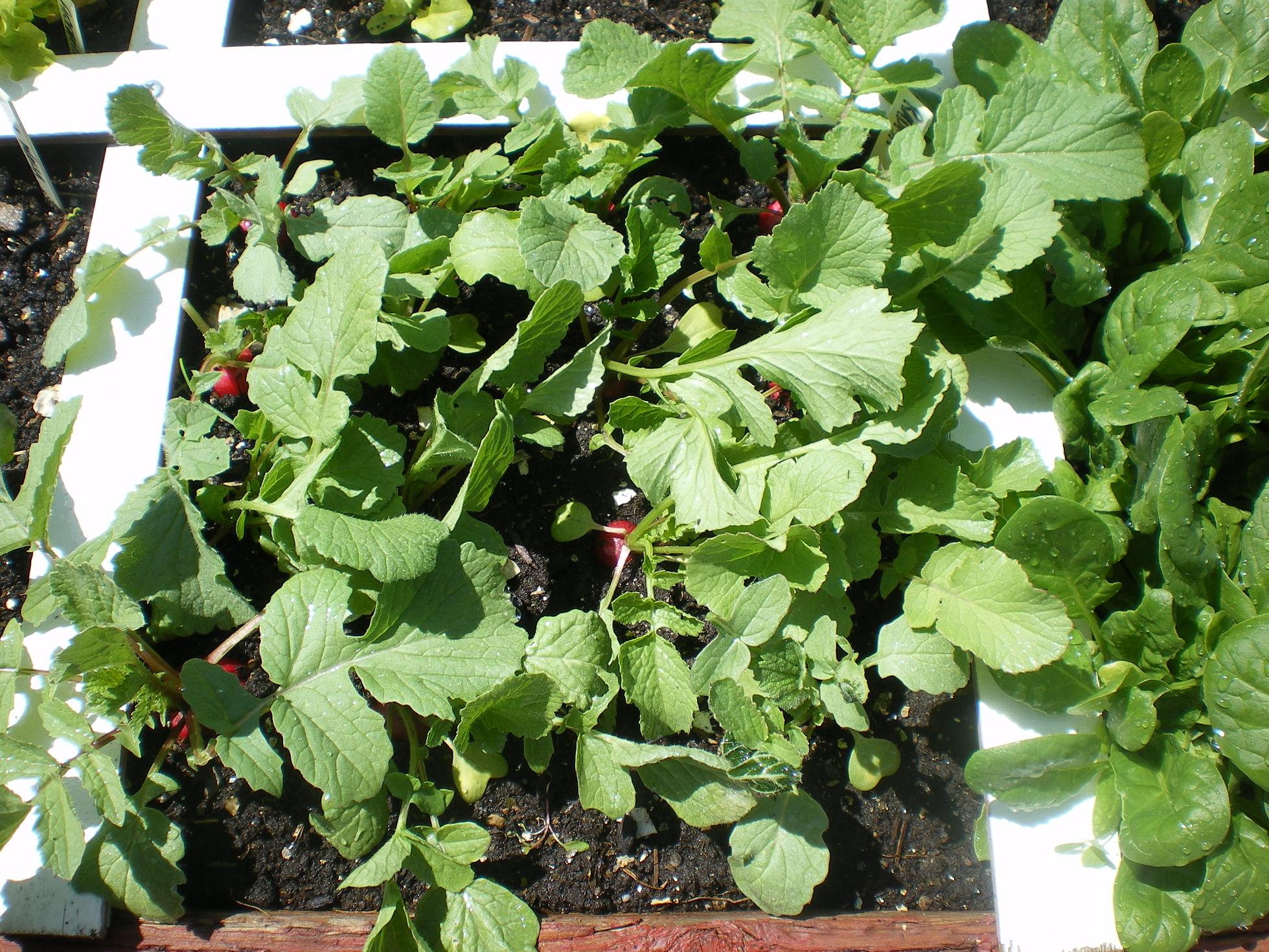 Old I How Do You Know When Radishes Are Wealthy Earth When To Harvest French Radishes When To Harvest Radish Sprouts houzz 01 When To Harvest Radishes